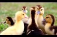 站長>中央公園~小鴨家族(影片)